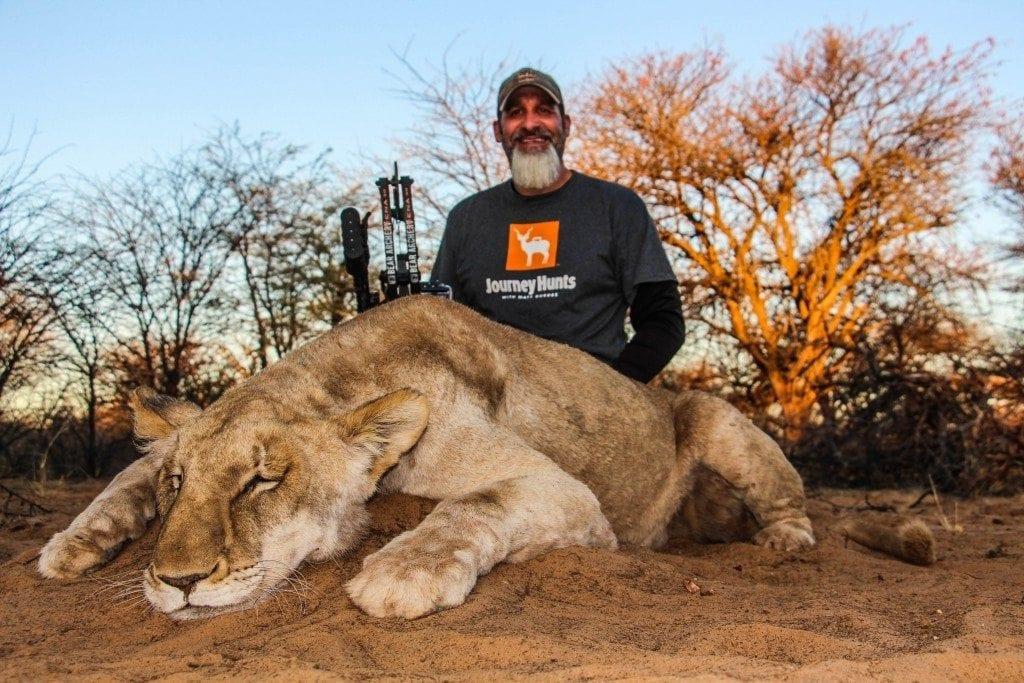 Matt Guedes Female Lion