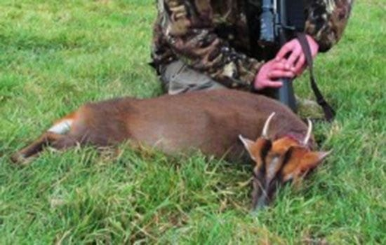 England Chinese Water Deer and Muntjac Combination Hunt