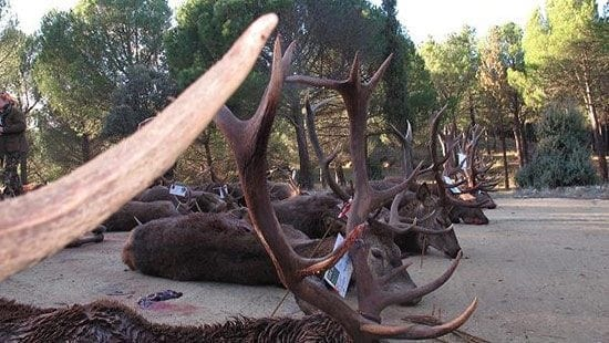 The red stags in this picture were part of the Monteria hunt that took place in Spain