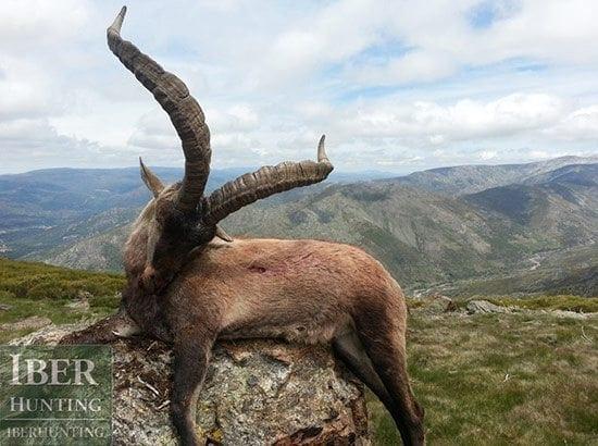 Spain Gredos Ibex Hunt