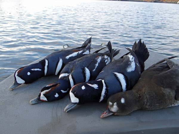 alaska-sea-duck1