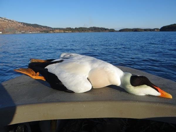 alaska-sea-duck2