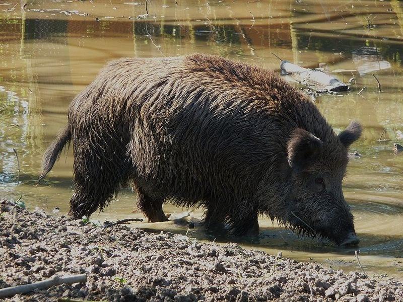 The European Boar of Spain