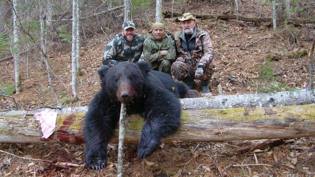 Amur Bear