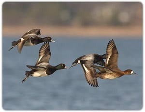 Maryland, Eastern Shore, Waterfowl Hunt