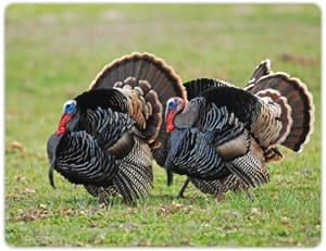 Maryland and Delaware Turkey Hunt
